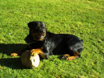 Chien rottweiler  gomez - Rottweiler  (0 mois)
