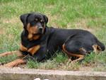Chien rottweiler dorka - Rottweiler  (0 mois)