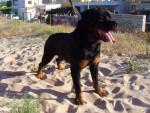 Chien rottweiler - Rottweiler  (0 mois)