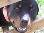 Chien rottweiler  SHERKANN - Rottweiler  (0 mois)