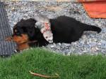 Chien Zoria et mon furet léo - Rottweiler Femelle (8 mois)