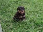 Chien Rottweiler lotuss - Rottweiler  (0 mois)