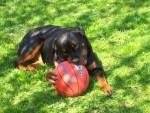 Chien rottweiler . nyka - Rottweiler  (0 mois)