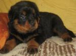 Chien Fidgi - Rottweiler Femelle (3 mois)