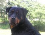 Chien Reys - Rottweiler  (0 mois)