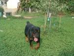 Chien Tom - Rottweiler Femelle (6 mois)