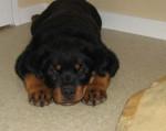 Chien Photo Eiko : chiot Rottweiler de 2 mois et demi - Rottweiler  (2 mois)