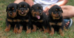 Chien chiots rottweilers - Rottweiler  (0 mois)