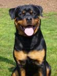 Chien Guizmo, Rottweiler mâle - Rottweiler  (0 mois)