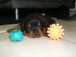 Chien Chiot Rottweiler - Rottweiler  (0 mois)