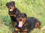 Chien Athemis et Beverly - Rottweiler  (0 mois)