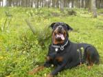 Chien Margo 2 ans - Rottweiler  (2 ans)