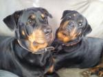 Chien Karmen 9 mois et Margo - Rottweiler  (9 mois)