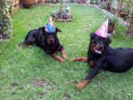 Chien Anniversaire de Karmen  1 an - Rottweiler  (0 mois)