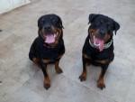 Chien Karmen et sa soeur Leloo - Rottweiler  (0 mois)