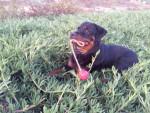 Chien Karmen grandit - Rottweiler  (0 mois)