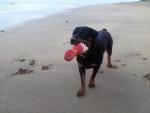 Chien Karmen à la plage - Rottweiler  (0 mois)