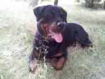 Chien Beau portrait de Karmen - Rottweiler  (0 mois)
