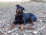 Chien Margo - Rottweiler  (0 mois)