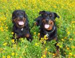 Chien Karmen et Margo dans un beau champ de fleurs - Rottweiler  (0 mois)