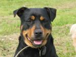 Chien Nala, femelle Rottweiler 4 ans en 2007 - Rottweiler  (4 ans)