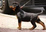 Chien AV - Rottweiler Femelle (10 mois)
