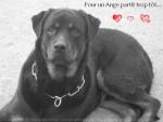 Chien Apache - Rottweiler Mâle (5 ans)
