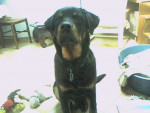 Chien Apache a 5 mois - Rottweiler  (5 mois)