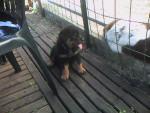Chien Apache a 1 mois et demi - Rottweiler  (1 mois)