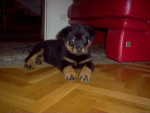 Chien Apache a 3 mois - Rottweiler  (3 mois)