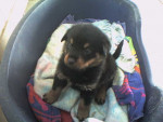 Chien Apache a 3 semaines - Rottweiler Femelle (0 mois)