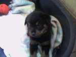 Chien Apache a 3 semaines - Rottweiler  (0 mois)