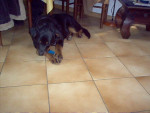 Chien Apache a 6 mois - Rottweiler  (6 mois)