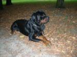 Chien Vick - Rottweiler Mâle (6 ans)