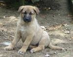 Chien bianka - Rottweiler Femelle (2 ans)