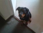 Chien Tyzer - Rottweiler Femelle (1 an)