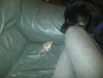 Chien Ella Vs Peanut x - Rottweiler Femelle (8 mois)