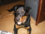 Chien Hannibal - Rottweiler Mâle (8 mois)