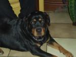 Chien laila - Rottweiler Femelle (6 ans)