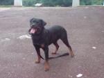 Chien sim de la colline aux chiens - Rottweiler Mâle (8 ans)