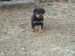 Chien chiots - Rottweiler Femelle (1 mois)