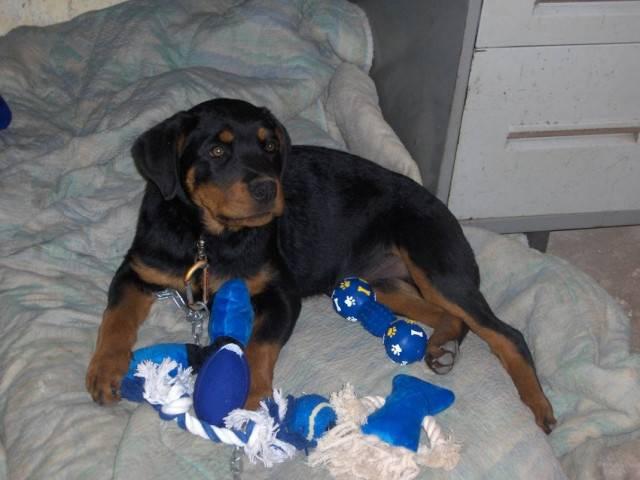 Chien domino - Rottweiler Mâle (10 mois)