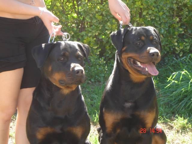 Chien rottweiler shana et son fils arès de l\'élite des empereurs - Rottweiler  (0 mois)
