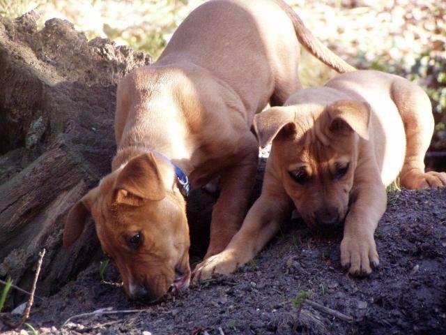 Chien bull terier rottweiler bouille - Rottweiler  (0 mois)