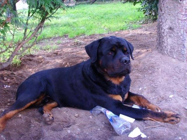 Photo Rottweiler Bronko Du Jardin Des Monts D Or Rottweiler