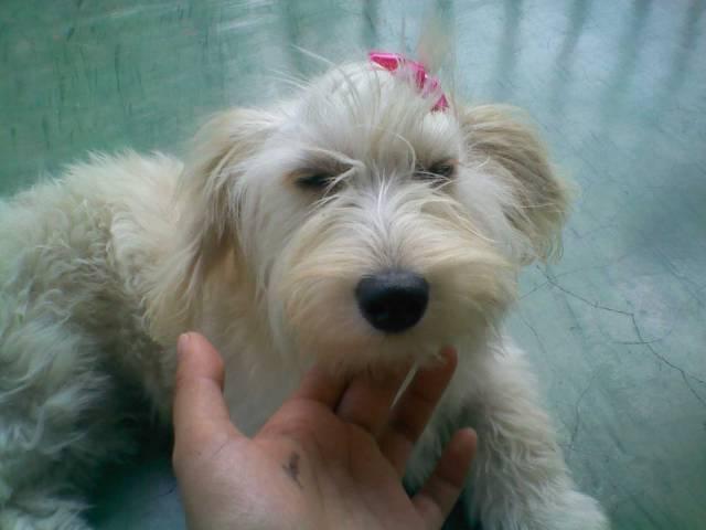 Chien nairin - Rottweiler Femelle (1 mois)