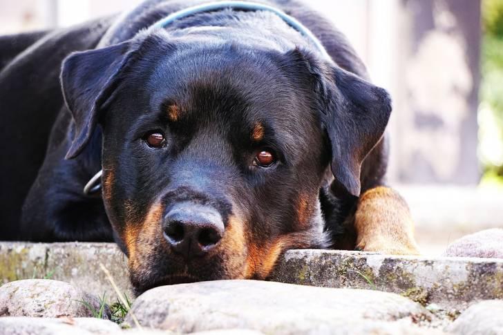 Le Rottweiler Chien Populaire Aux Etats Unis