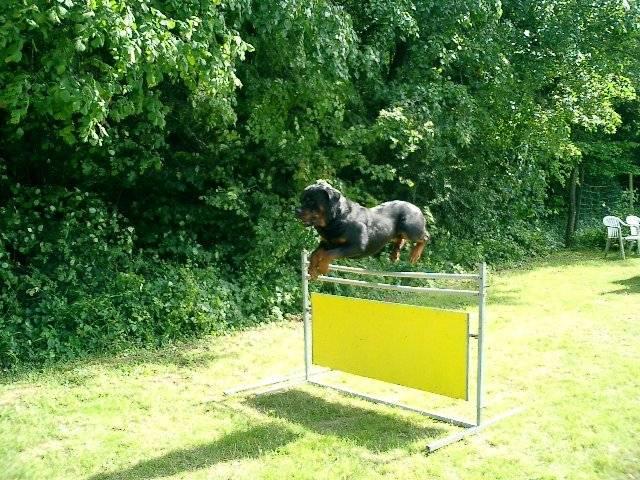 Photo Teos Du Jardin Des Monts D Or Rottweiler