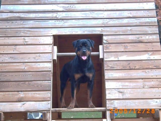 Chien Vanda - Rottweiler Femelle (4 ans)