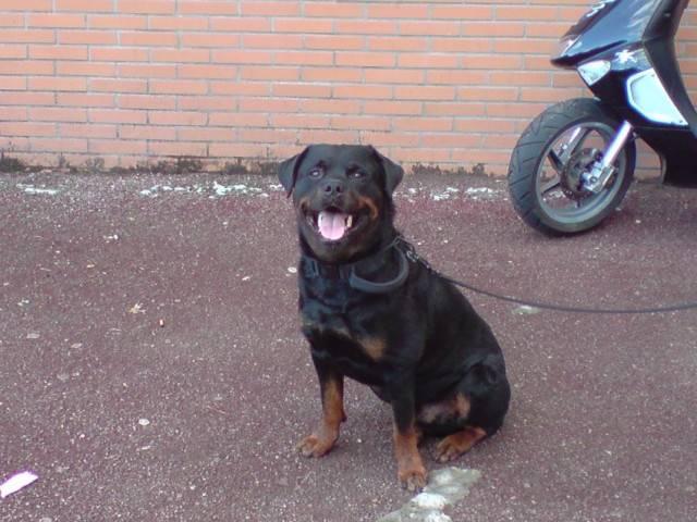 Chien Im de la colline aux chiens - Rottweiler Mâle (8 ans)